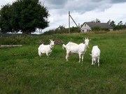 Продам двух дойных коз и козленка